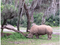 Rhino and tree with Spanish moss.