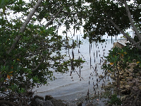 Mangroves at the river.