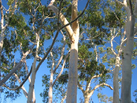 The yellow trunks of eucalyptus beside the mission.