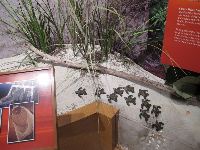 Display on baby sea turtles.