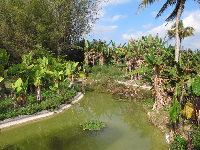 Pond with giant taro and banana trees.