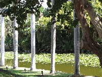 Row of palms by a lilypond.
