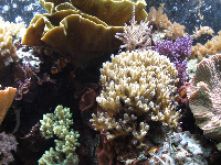Colorful coral in the Indo-Pacific tank.