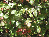 This is one variation of what Poison Oak looks like- glossy leaves, in groups of three. If in doubt, still watch out!