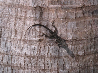 Lizard on palm trunk.
