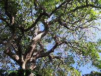 Tree with pods hanging down.