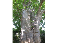Baobab Tree, planted in 1939. The trunks become hollow and are sometimes used as shelters or even bus stops!