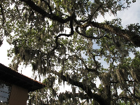 Just can't get enough of the Spanish moss!