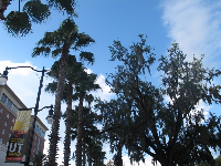 Spanish moss and palm trees at the entrance to University of Tampa.