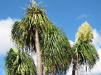 Flowering palm.