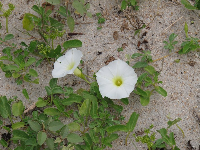 White morning glories on the dunes.