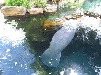 A manatee floats along in its pool.