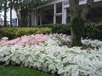 Patch of caladiums.
