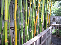 Yellow and green bamboo at the Japanese Garden.