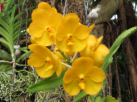 Dark yellow orchid.