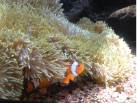 Clownfish in his little home.