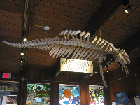 West Indian Manatee skeleton.