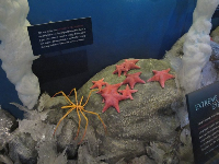 Starfish exhibit in the Hall of Ocean Life.