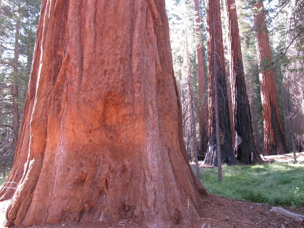 Mariposa Grove, Yosemite (4hrs from SF), San Francisco California